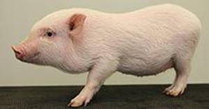 """אכילת בשר חזיר: """"נשמת אפה של הדמוקרטיה"""""""